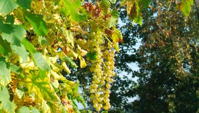 de laatste druiven