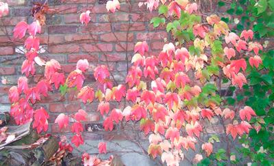 rode bladeren van de winde